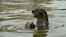 Otters Attack Swimmer Near Yellowstone National Park