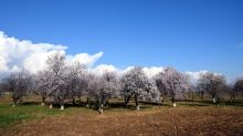 In Pics: First Signs of Spring in Kashmir