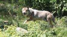 Un loup gris photographié en Haute-Marne