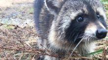USA: Polizei fängt betrunkene Waschbären und lässt sie ausnüchtern