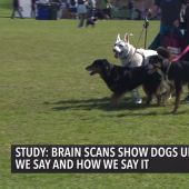 Brain Scans Show Dogs Understand What We Say, How We Say It