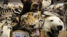Tusks, bear bile and stuffed beasts: Inside Heathrow's morbid 'Dead Shed'
