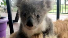 Perro salva la vida de este adorable bebé koala