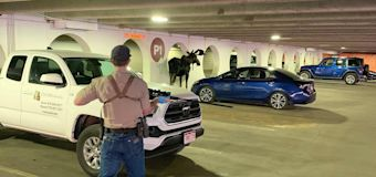 Moose Who 'Regularly' Wanders Into Colorado Parking Garage Gets Relocated to the Wilderness