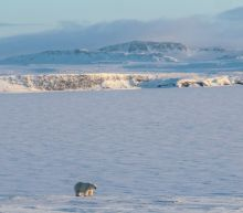 Weak Arctic ice sees 56 polar bears descend on Russian village