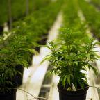 Aurora Cannabis sales spike 260% after legalization in Canada