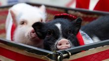Comfort chickens, pigs and miniature horses approved in Calgary
