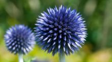 Gardening tips: plant globe thistles for pollinators