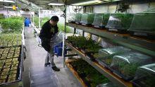 Aurora Cannabis Cuts 500 Jobs as CEO Steps Down