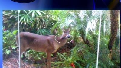 State Won't Help Deer With Arrow In Neck