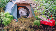 Hedgehog Instagram star goes camping in new outdoor photoshoot