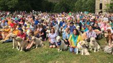 Comemorando aniversário da raça golden retriever, grupo reúne 361 cachorros em vídeo