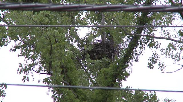 Bald Eagles Find Unlikely Home