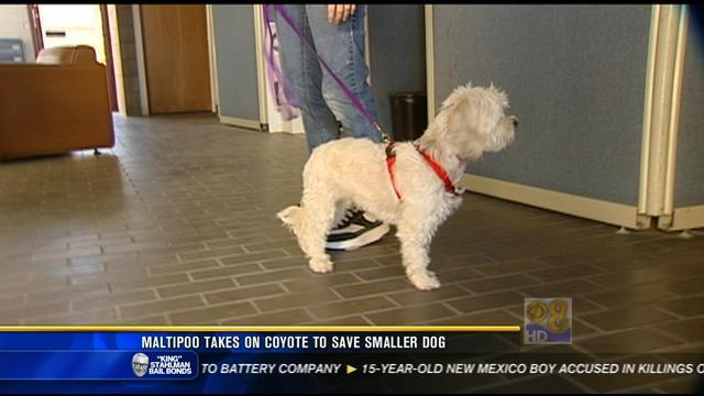 Maltipoo takes on coyote to save smaller dog