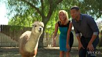 Host's Horrid Alpaca Kiss Fail