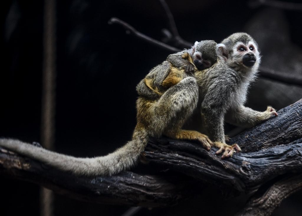 The baby spider monkey, measuring just 20-centimeters and weighing around one kilogram, is entirely dependent on its mother (AFP Photo/JOAQUIN SARMIENTO)