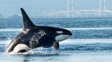 Killer whales confirm their title as ocean's apex predator