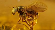 Beautiful pictures of insects preserved in amber for millions of years