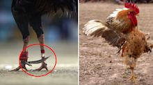 Man dies after rooster attacks groin with knife