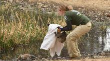 Corrida contra o tempo para salvar animais da Ilha Kangaroo na Austrália