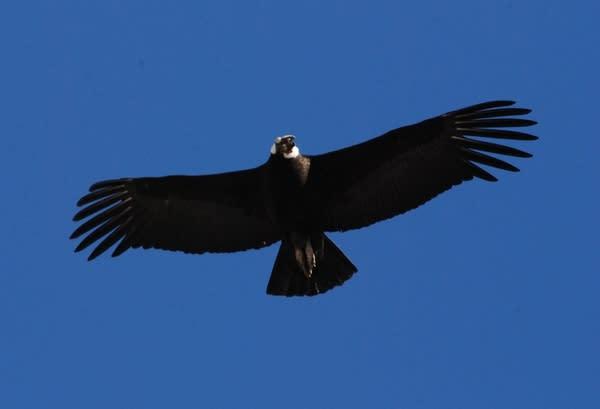 Adult male condor in flight.