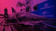 What attacked a 13-foot great white shark pulled from the ocean? One that is even bigger.