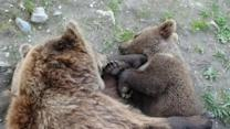 Baby Bear Falls Asleep in His Mother's Arms