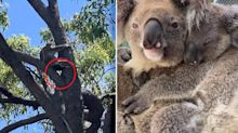 'Dying off': Vet warns koala numbers could suffer 'big crash'