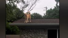 Dog named Huckleberry becomes star for hanging out on owners' roof