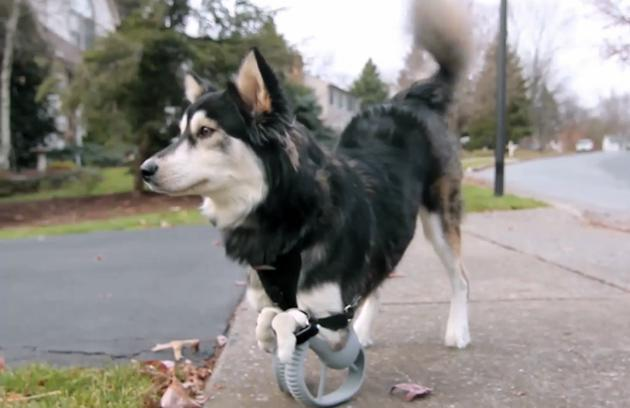 Derby the dog got 3D-printed paw prosthethics, now watch him run