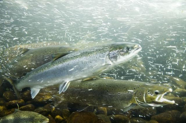 FDA removes restrictions on genetically modified salmon