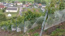 Dans le Pas-de-Calais, des vendanges insolites sur le flanc d'un terril