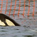 Stranded Baby Orca In New Zealand Sparks Nationwide Search For His Pod