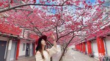 熱門IG美拍櫻花會館 桃紅八重櫻浪漫滿開