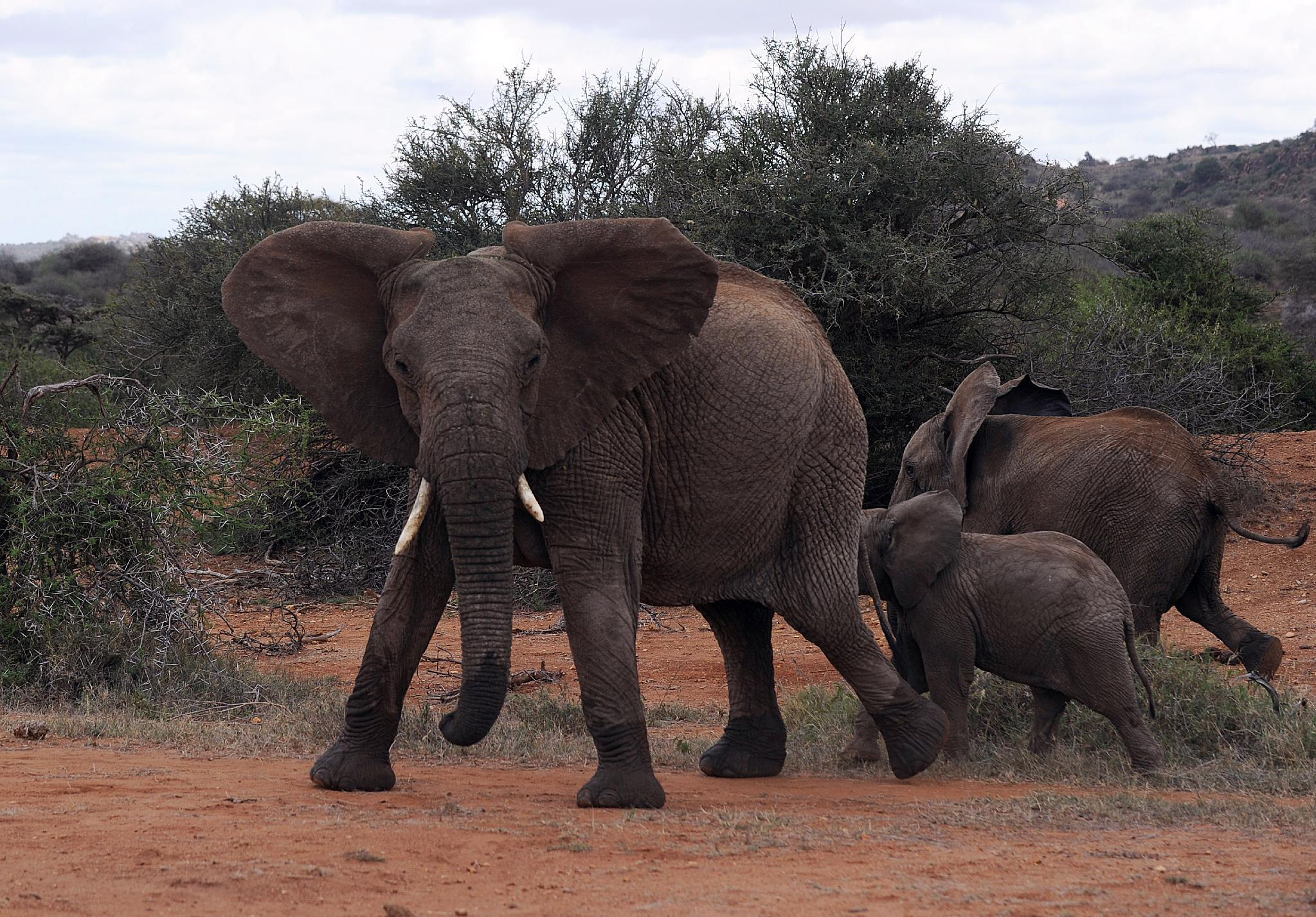 A family of elephants at the Ol Jogi rhino sanctuary in Nairobi on August 6, 2014 (AFP Photo/Tony Karumba)