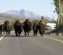 Bison injures hiker at Yellowstone National Park, officials say. Here's what we know