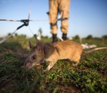 Giant rats could help fight wildlife smuggling in Africa