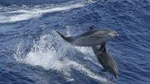 Matan cientos de delfines cada año para utilizarlos como cebo