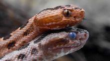 How to spot and correctly identify North Carolina's six venomous snakes