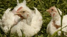 Antibiotic-free meat gets a foothold in US