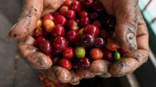 Falling prices rock coffee-growers in Colombia