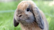 Domestic rabbits often lead miserable, disease-ridden lives because owners wrongly believe they need minimal care