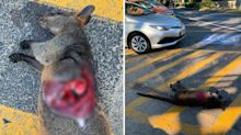 'Looks like its heart has been cut out': Dead wallaby with gruesome injuries found in car park