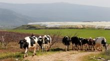 Lebanese herders, Israeli military row over cows grazing near border