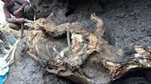 Well-preserved 50,000-year-old carcass found in melting ice