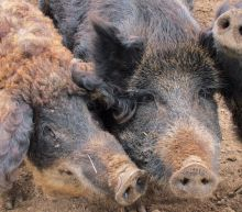 Texas to feral pigs: It's time for the 'hog apocalypse' to begin