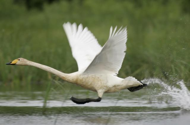 Swans help create smoother camera drone videos
