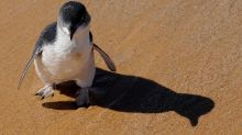 58 Australian 'fairy penguins' slaughtered in suspected dog attack