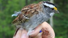 White throated sparrows change their tunes from a three note to a two note