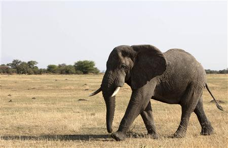 An elephant walks in Serengeti National Park